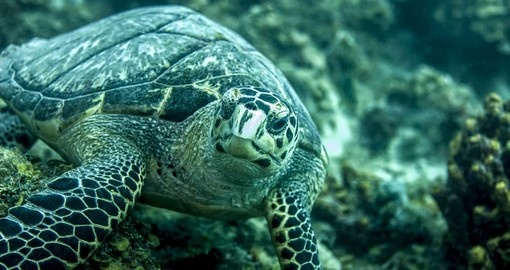 Hawksbill turtle eating seaweed