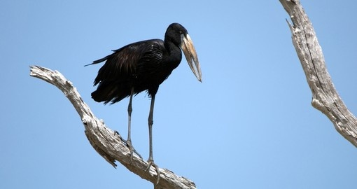 African Open Billed stork - a great photo opportunity on your Tanzania safari.