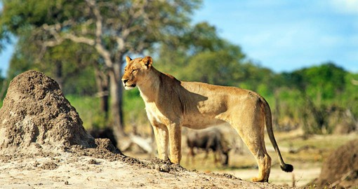 Hwange's lion population numbers around 500