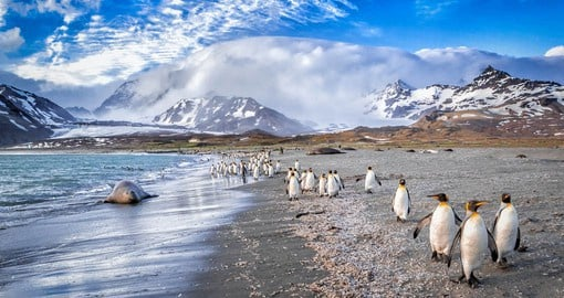 South Georgia is home to the largest colony of king penguins on this planet