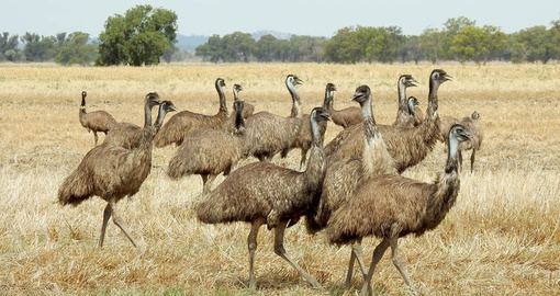 You even might be able to see Flock of Emus on your next Australia tours.