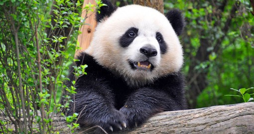See the icon Giant Pandas on your China Vacation