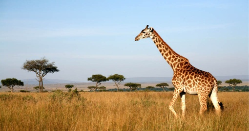 Giraffe in the grasslands of Masai Mara