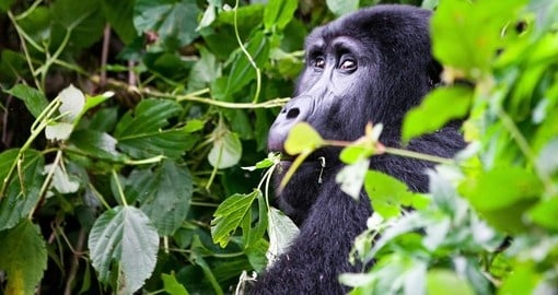 See one of the most endangered animals in the world on a Bwindi Impenetrable Forest safaris.
