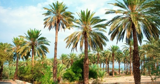Date palm plantation near Dead Sea