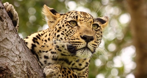 Leopard's and other members of the Big 5 can be seen on your South Africa Safari