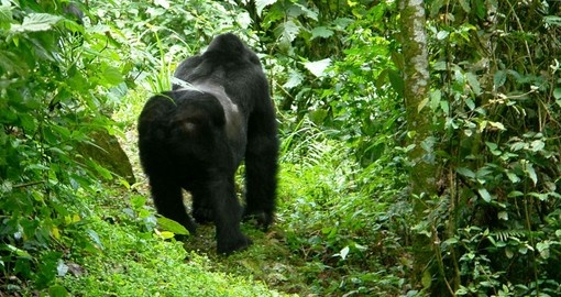 Mountain Gorilla in the Forest