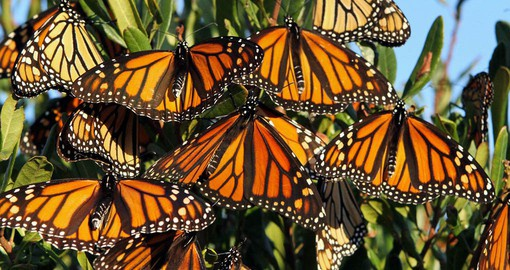 See the beautiful Monarchs in the winter home of your trip to Mexico