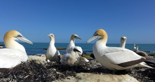 Visit Gannet Beach during your New Zealand Vacation