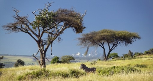 Endangered Graves zebra and Acacia trees make for a photo opportunity while on your Mount Kenya National Park safari.
