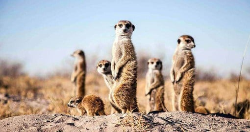The Meerkats at Jack's Camp are still very wild, but enjoy coming to say hello