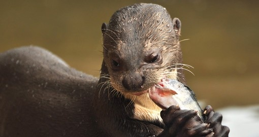 Chat with a river otter on your Guyana Vacation