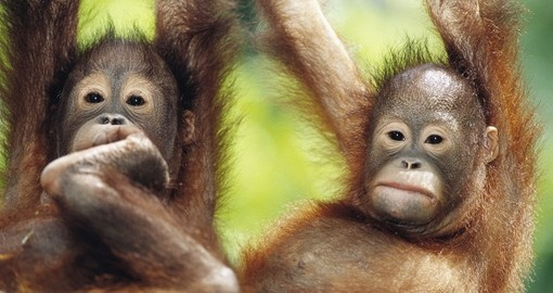Close-up of two young orangutans
