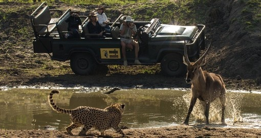 South Africa safaris will take you to amazing Cheetah and waterbuck showdown.