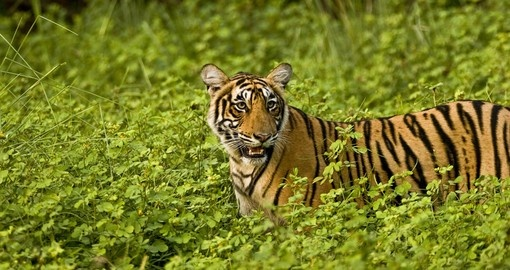 Tiger in green bushes of Ranthambhore is a great photo opportunity on India vacations.