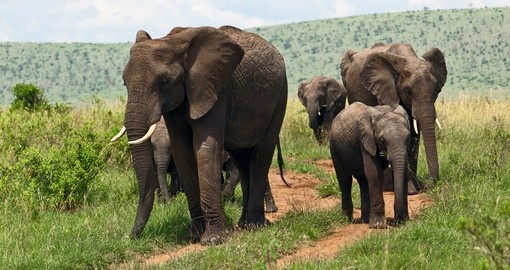 Your Kenyan safari gives you the opportunity to see Elephant and other members of the Big 5