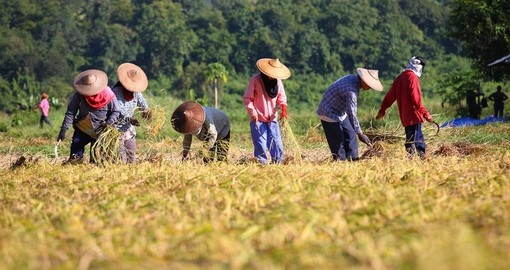 Farmers harvesting rice