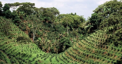 Tour lush coffee plantations on your Colombia Tour
