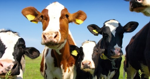 Visit Dairy Farms in Australia and New Zealand