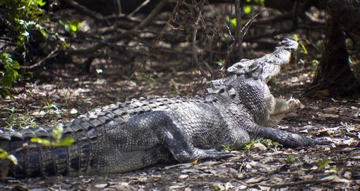 Meet this Large saltwater crocodile in Yellow water billabong during your next Australia tours.