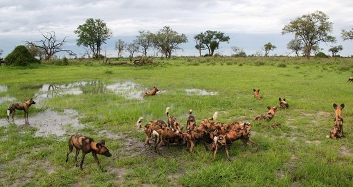 African wild dogs eating tsessebe