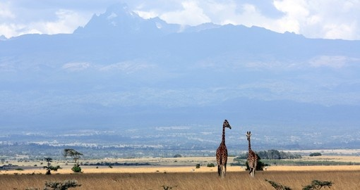 Giraffes with Mt Kenya as seen on your Kenyan Safari