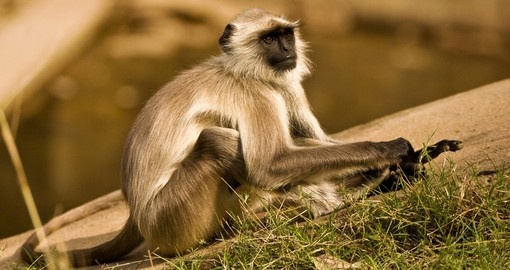 A Langur in Ranthambhore tiger reserve