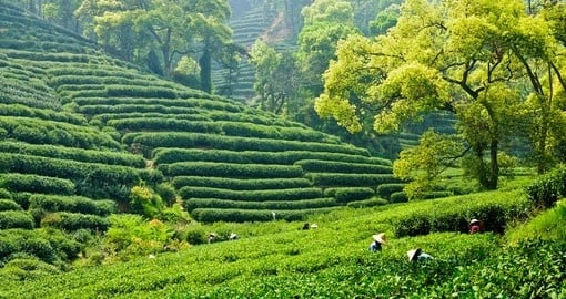 Tea plantation outside of Hangzhou