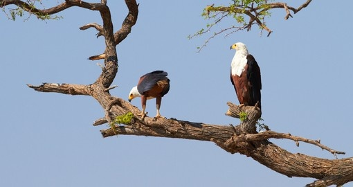 Fish eagle in a tree on the banks of the Chobe River