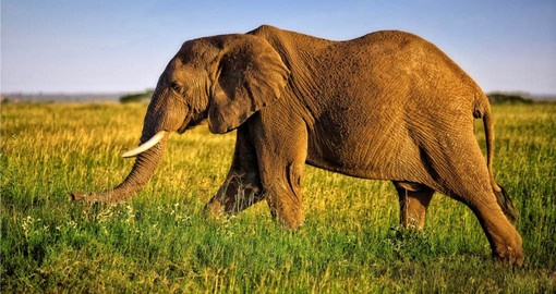 During your safari in Tanzania be on the lookout for Africa's Big 5 including the African Elephant