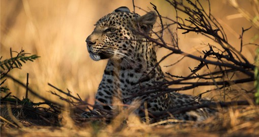 The elusive Leopard, Pilanesberg National Park