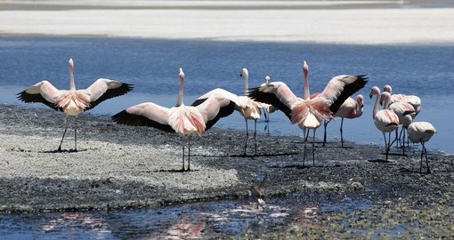 Flamingos on the Salt Flats, Potosi