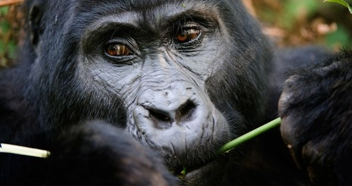 Seeing Gorillas in the Bwindi Impenetrable Forest will be a highlight of your Uganda vacation.