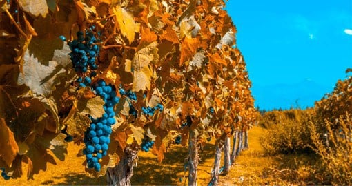 Originally from the South West of France, the Malbec grape has become Argentina's signature grape