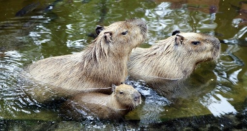 Three capybaras in the water