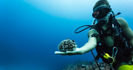 Scuba diver displaying large sea urchin