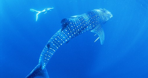 Diver with a whale shark, in the Ningaloo Marine Park.  Credit Tourism Western Australia