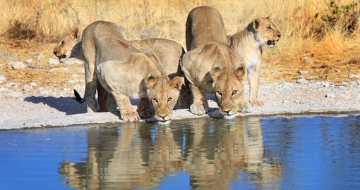 A pride of lions at a watering hole