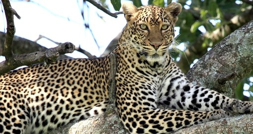 See Leopards and other members of the Big 5 on your Kenya Vacation