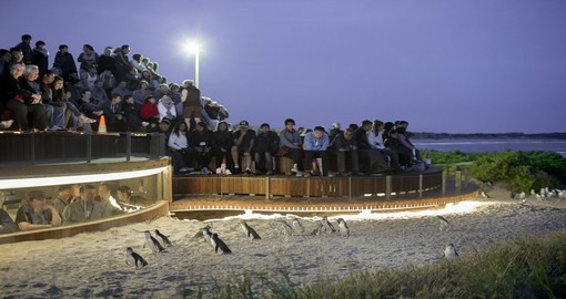 Experience Penguin Parade at dusk during your next Australia tours.