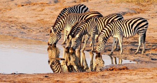 Watch how zebras live their life in Nyamandlovu during your next trip to Namibia.