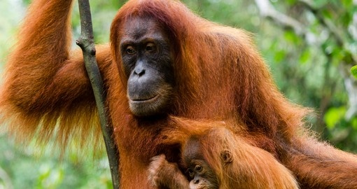 Mother and baby orangutan in the jungle