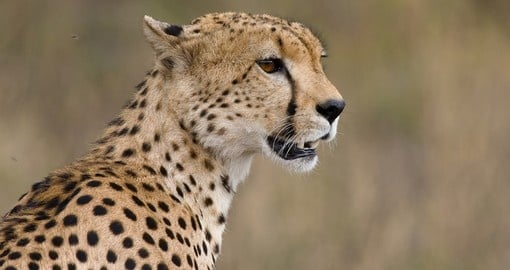Cheetahs are one of the Big Cats that may be seen on your Kenyan Safari