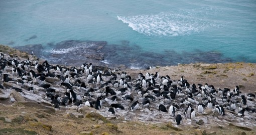 Rockhopper penguin colony