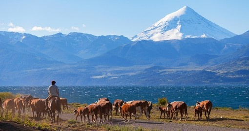 Gauchos and herd of cows on the background of Volcano Lanin