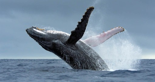Enjoy a day watching the migrating whales on your Bora Bora vacation
