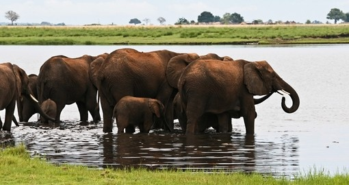 Herd of elephants washing and drinking