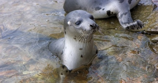 You will be able to see Seals on the Island on your next Australia vacations.