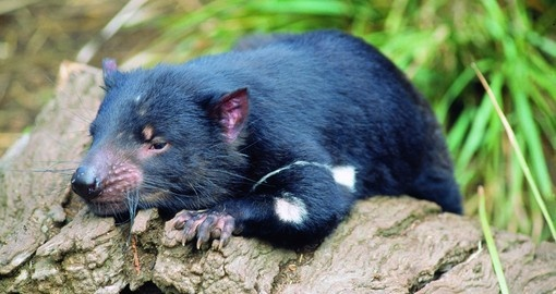 You might be able to meet Tasmanian Devil on your next Australia vacations.