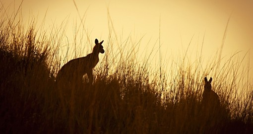 Australian kangaroos silhouetted at sunset